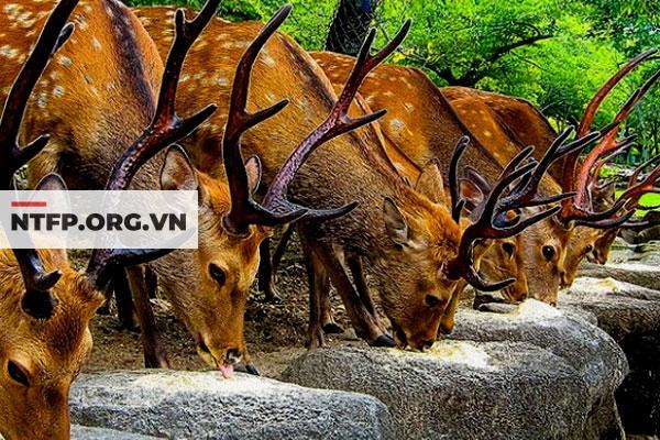 Thành phần viên Nhung hươu Cigapan 400mg